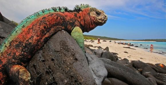 Ігуана на пляжі острова Іспаньйола, Галапагоси