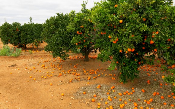Peniscola_orange_trees
