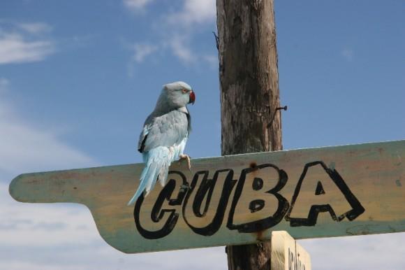 Cuba parrot