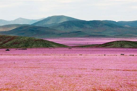 atacama desert bloom 1