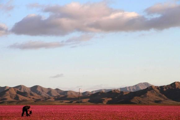 atacama desert bloom 13
