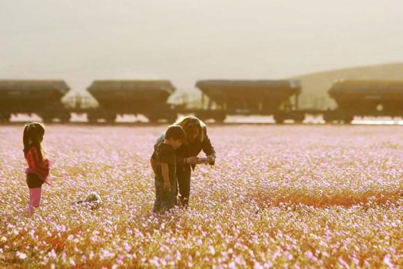 atacama desert bloom 2