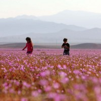 Chile's Atacama Desert – the driest place in the world – blooms pink mallow flowers