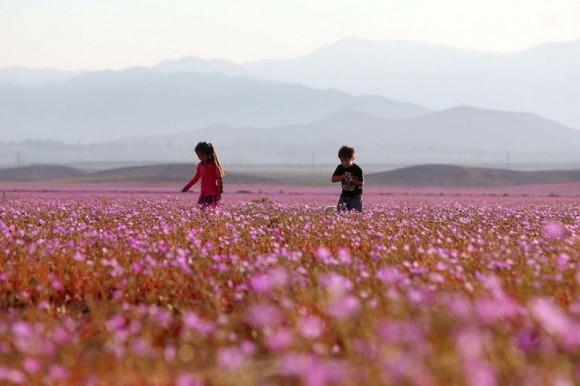 atacama desert bloom