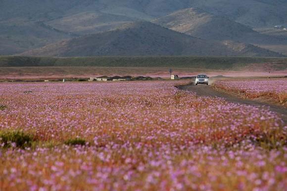 atacama desert bloom 6