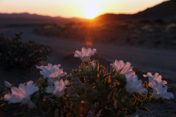 atacama desert bloom 7