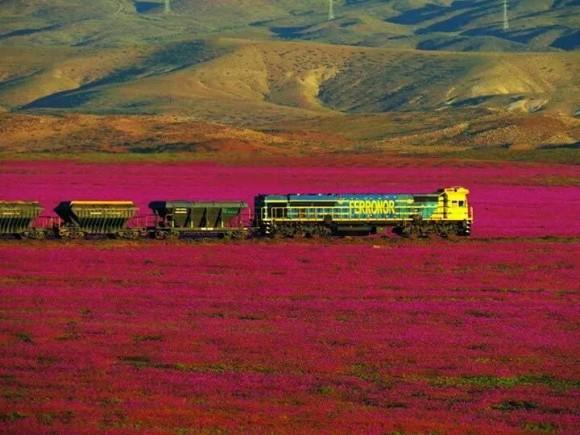 atacama desert bloom 8