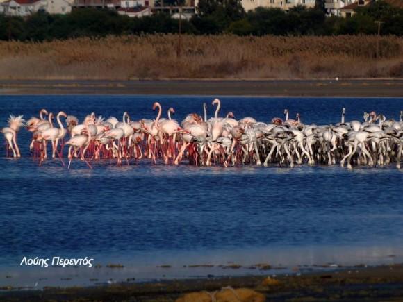 Larnaca Solt Lake flamingoes - photo by Louis Perentos 2