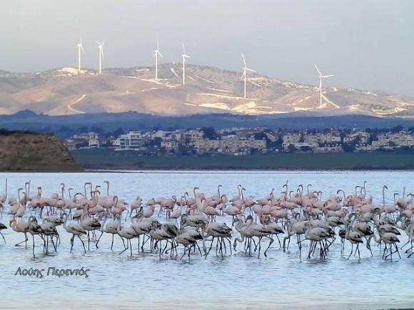 Larnaca Solt Lake flamingoes - photo by Louis Perentos 3